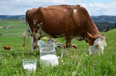 Milk and cows in Switzerland — Stock Photo