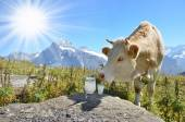 Jug of milk against herd of cow. — Stock Photo