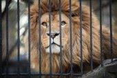 Lion at the zoo looking through metallic fence. — Stockfoto