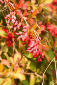 European barberry — Stock Photo