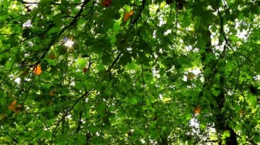 Beautiful, harmonious forest detail, with sycamore maple leaves — Stock Video
