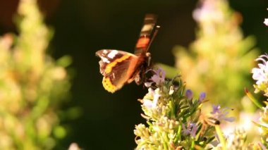 Detailní záběr krásný motýl — Stock video