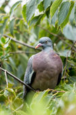 Wood pigeon (Columba palumbus) — Stock Photo