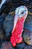 Nice turkey — Stock Photo