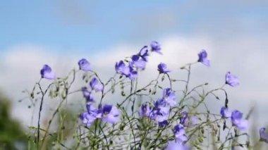 Wild flowers in the wind Asian Flax (Linum austriacum) — Stock Video