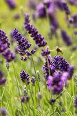 European honey bee (Apis mellifera) — Stock Photo