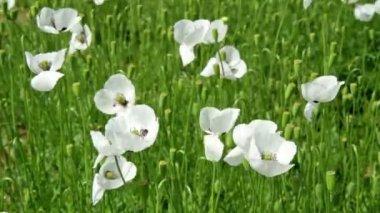 Flores blancas de amapola en el campo — Vídeo de Stock