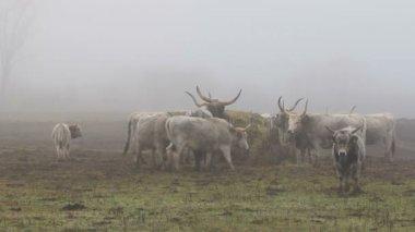 Maďarský šedá krávy v zimě — Stock video