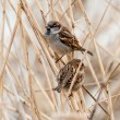 Young male sparrow  — Stock Photo #64699709