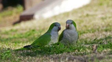 Monk parakeet (Myiopsitta monachus) — Stock Video