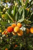 Strawberry tree,cane apple (Arbutus unedo) — Stock Photo