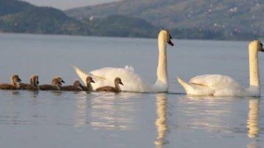 Swan family — Stock Video