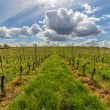Beautiful rows of grapes — Stock Photo #73283365