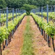 Beautiful rows of grapes — Stock Photo #73281989
