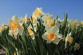 White and yellow daffodils — Stock Photo