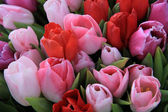 Red and pink tulips — Stock Photo