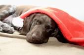 Dog dreaming of Santa — Stock Photo