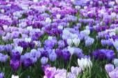 Purple crocuses — Stock Photo