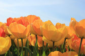 Yellow and orange tulips — Stock Photo