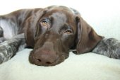 German Shorthaired Pointer puppy — Stock Photo
