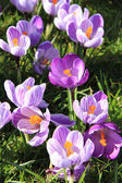 Crocuses on a field — Stock Photo