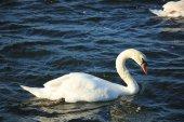 Single swan — Stock Photo