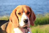 Young female beagle — Stock Photo