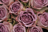 Purple roses — Stock Photo