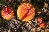 Spotted toadstools — Stock Photo