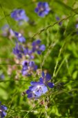 Blue flowers and grass — Stock Photo