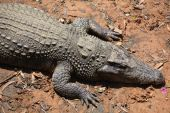 Crocodile resting on the shallow — Stock Photo