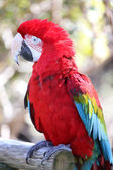 Parrot in closeup — Stock Photo