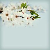 árvore de apple blossom — Fotografia Stock