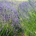 Lavender field — Stock Photo #57738827