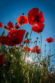 Red poppies with sunbeam — Stock Photo