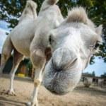Camel funny face — Stock Photo #57740219