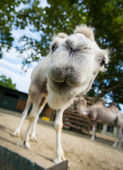 Close-up wide-angle shot camel — Stock Photo