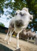 Close-up wide-angle shot camel — Stock Photo