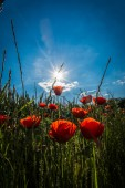 Poppies with sunbeam — Stock Photo