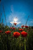 Poppies with sunbeam — Stock Photo