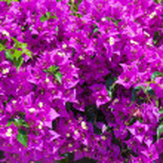 Purple bindweed flowers — Stock Photo #67957235
