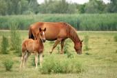 Brunt föl och häst på bete — Stockfoto