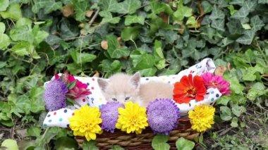 Cute kitten in wicker basket — Stock Video
