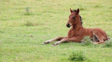 Foals lying on field — Stock Video