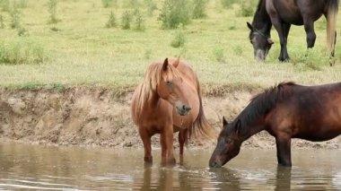 Hästar dricksvatten — Stockvideo