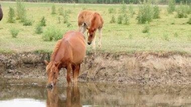 Stute und fohlen am fluss — Stockvideo