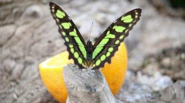 Farfalla da vicino — Video Stock