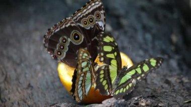 Motyli karmienie z soku pomarańczowego — Wideo stockowe