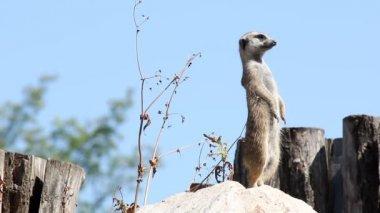 Meerkat watching for predators — Stock Video