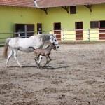 Lipizzaner foal running on farm — Stock Photo #54951657